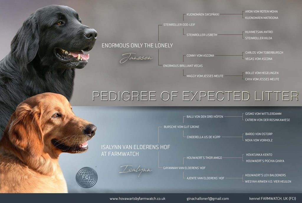 Hovawart puppy announcement showing pedigree of expected litter