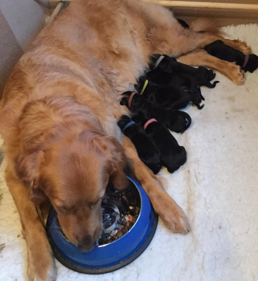 Hovawart feeding her puppies
