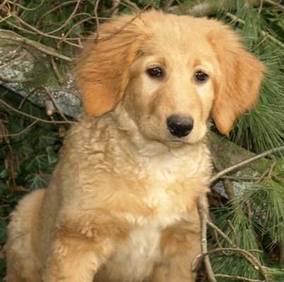10 week old Hovawart sitting near a tree looking at the camera